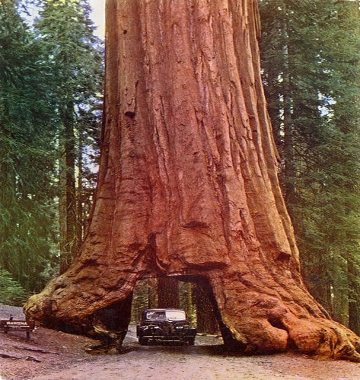 drive through a tree - Giant Redwood, Northern California ...