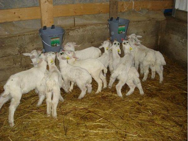 Разведение коз как бизнес, его рентабельность и перспектива