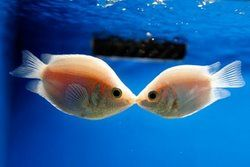 KissingPink Kisses, Fish Aquariums, Fishy Kisses, Kisses Gouramiskiss, Gouramiskiss Fish, Kissy Fishy, Kisses Fish, Fish Kisses, Animal