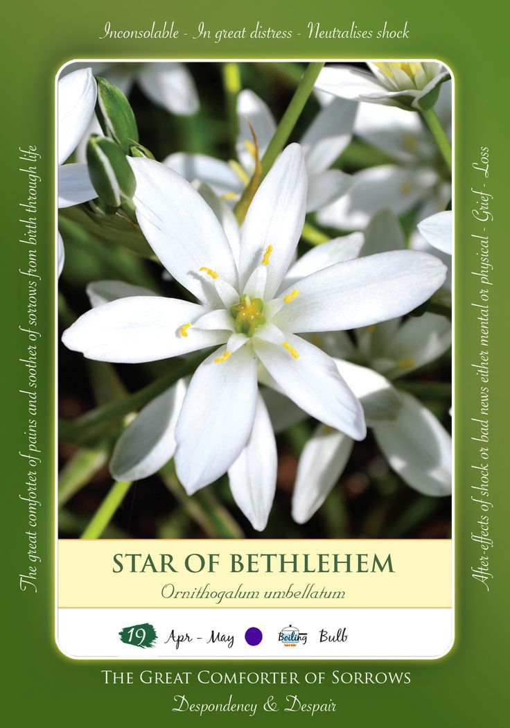 Bach Flower Remedy Star Of Bethlehem This Exquisite Flower Provides The Essence That Treats All Traumas Be T Bach Flowers Healing Flowers Star Of Bethlehem