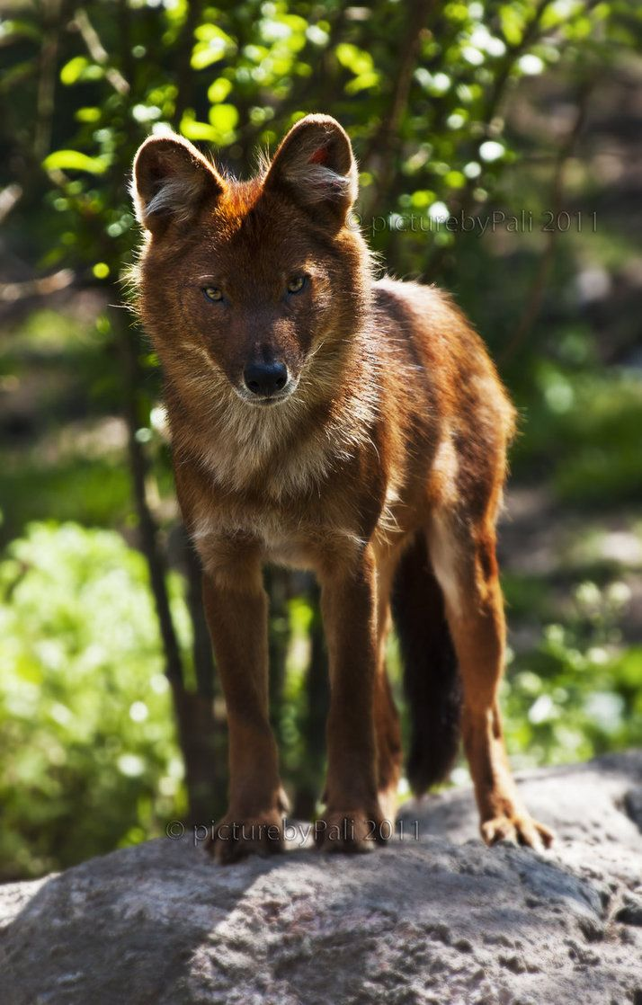 The Dhole also called the Asiatic wild dog or Indian wild dog, is a species of canid native to South and Southeast Asia. The dholes are classed as endangered by the IUCN, due to ongoing habitat loss, depletion of its prey base, competition from other predators, persecution and possibly diseases from domestic and feral dogs