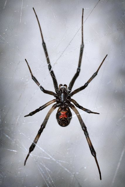 664 best images about Spiders on Pinterest | Black widow ...