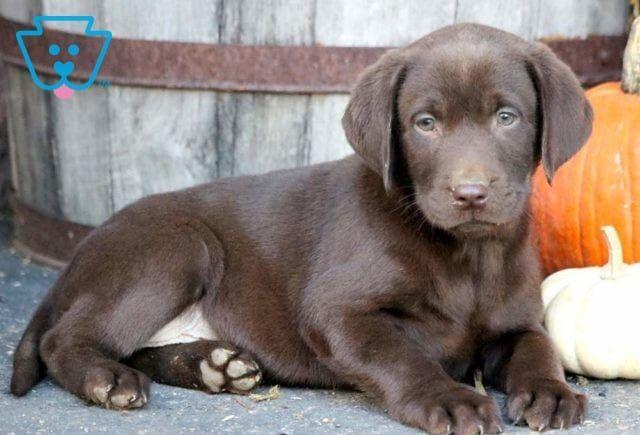 Tommy Labrador Retriever Chocolate Puppy For Sale Keystone Puppies Labrador Retriever Labrador Labrador Retriever Puppies