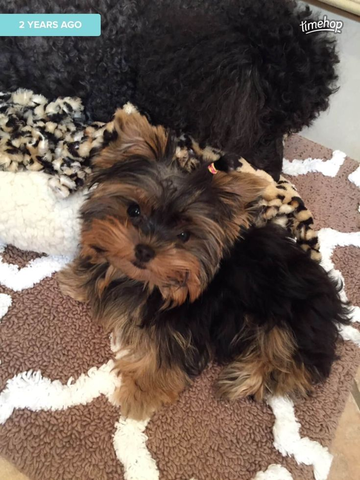 Angies piper its a yorkie life yorkie yorkshire