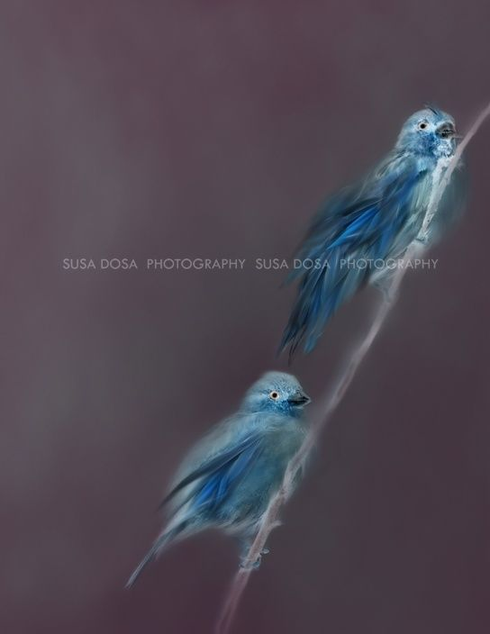 Blue birds of Happiness - for book cover - audio book - e book -  printed book.  Artistic image for your next book.  3888 px X 5031 px at 300DPi  COPYRIGHT note and License -  Please read! One time fee  - non exclusive license for book cover design. Name of person who owns the copyright to this imag