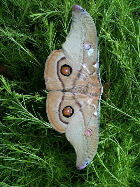 Emperor Gum Moth -Male