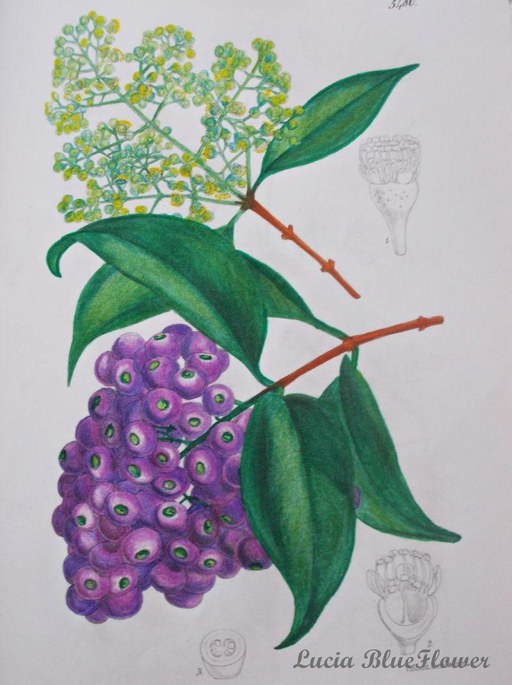 Acmena floribunda