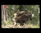 Kara Akbaba Belgeseli, Kuş Belgeseli, Kara Akbabalar