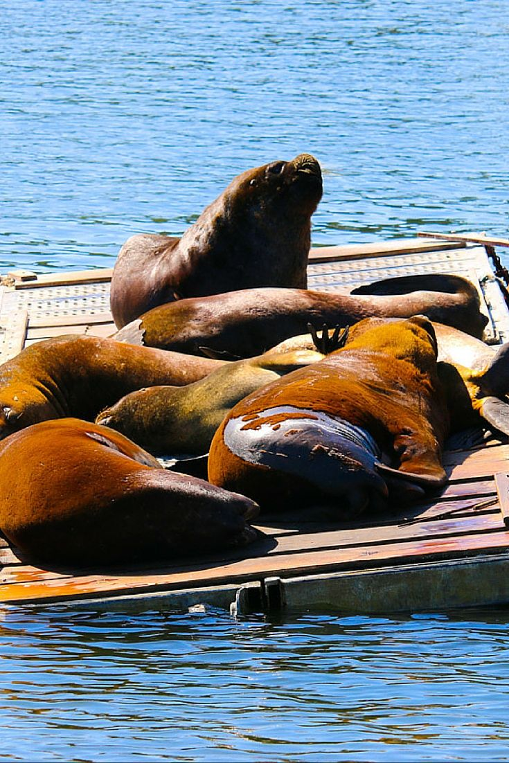 Sea lions in Valdivia, Chile
