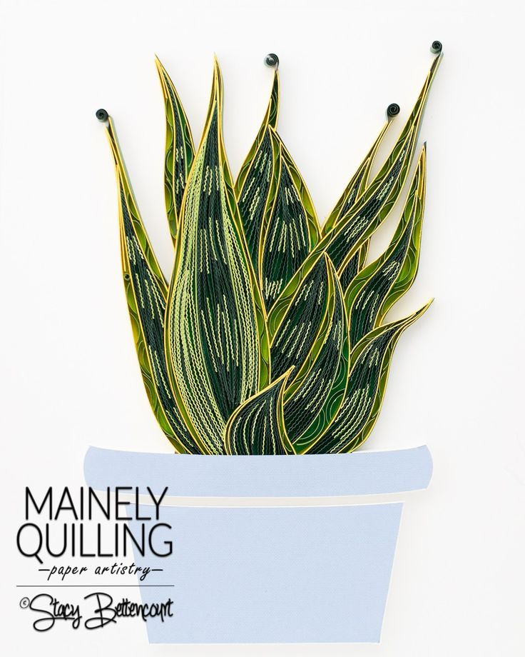 Quilled Snake Plant