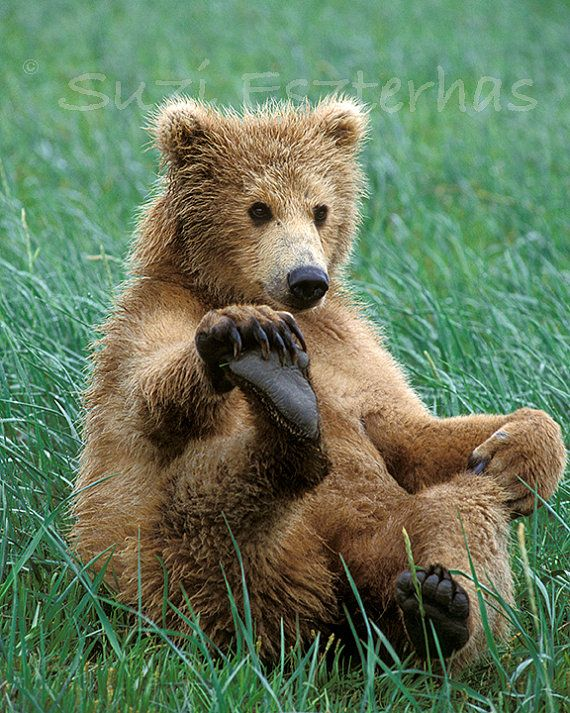 FUNNY BABY BEAR Photo - 8 X 10 Print - Baby Animal Photograph, Wildlife Photography, Wall Decor, Nursery Art, Brown, Grizzly, Green, Cub on Etsy, $25.00
