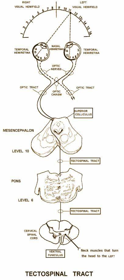 Нейроанатомии и особый смысл - Поймите, 2-й год медицины