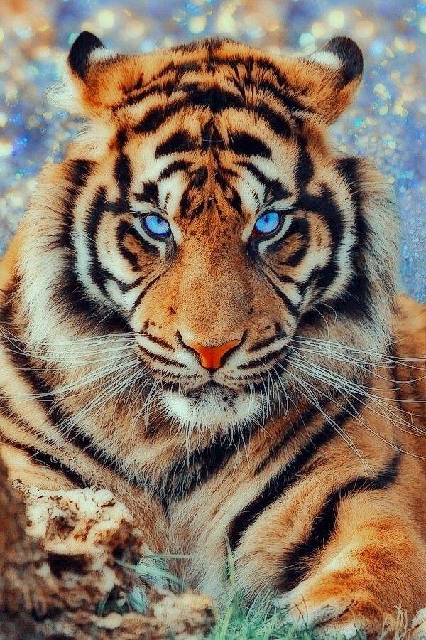 Картинки тигра на телефон