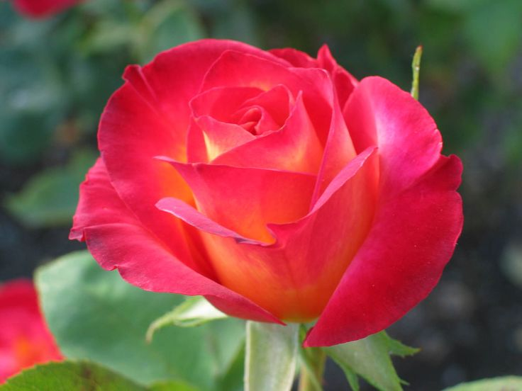 best flowers images on, Beautiful flower