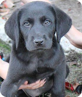 12/17/14 SOUTHINGTON, CT - Great Pyrenees/Doberman Pinscher Mix. Meet Rose, a puppy for adoption. http://www.adoptapet.com/pet/12114611-southington-connecticut-great-pyrenees-mix