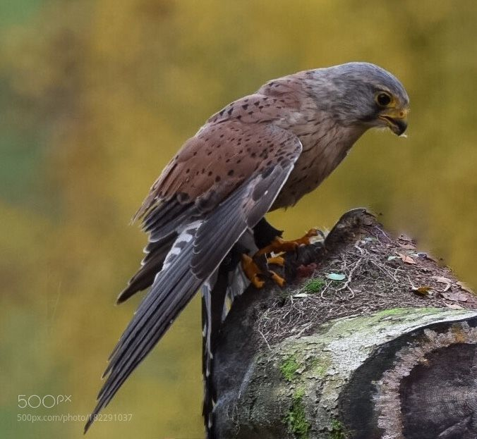 Kestrel- Turmfalke by burgele72 via http://500px.com/photo/182291037