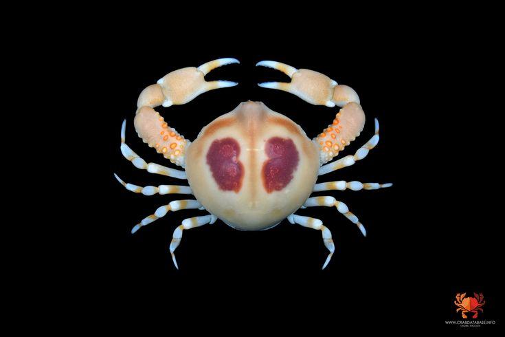 Euclosiana scitula