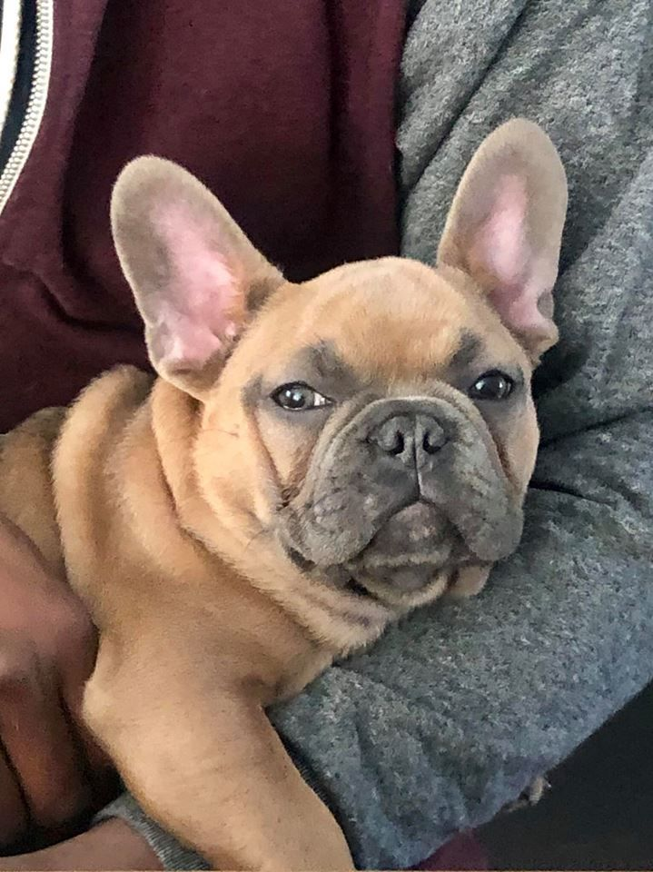 Past Puppy Of Samantha French Bulldog Puppies Bulldog French