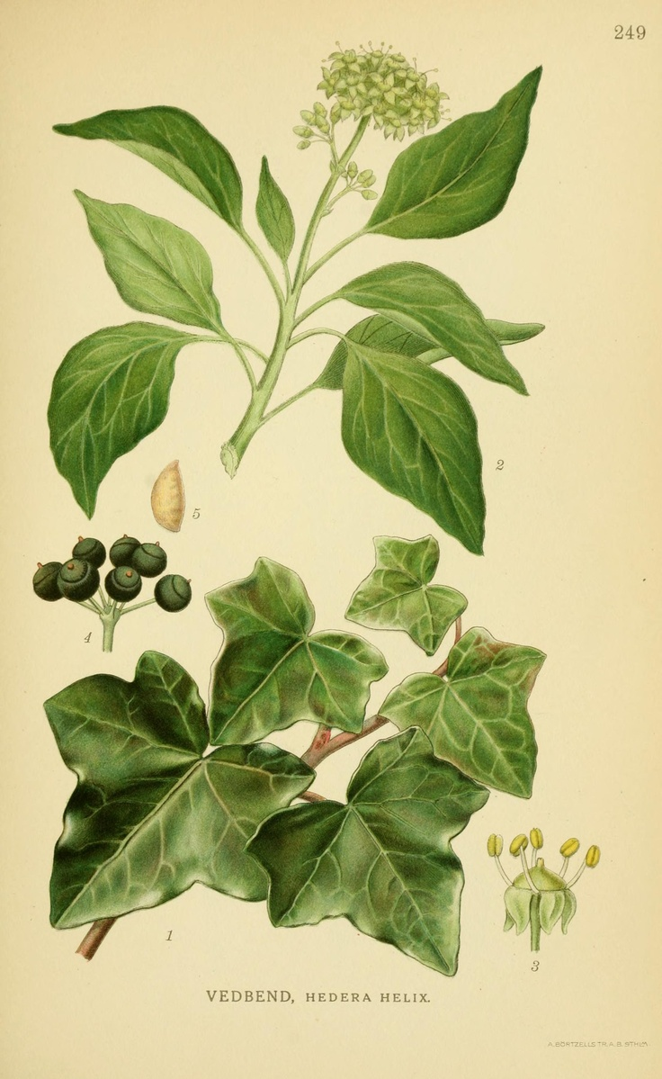 English ivy (Hedera helix, Araliaceae), from 'Billeder af nordens flora', by Mentz & Ostenfeld, 1917-1927. Source: Biodiversity Heritage Library, BHL. [public domain image]