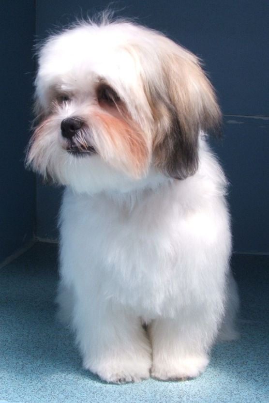 what does a shih tzu dog look like 75 best images about shih tzu on pinterest big thing 9497