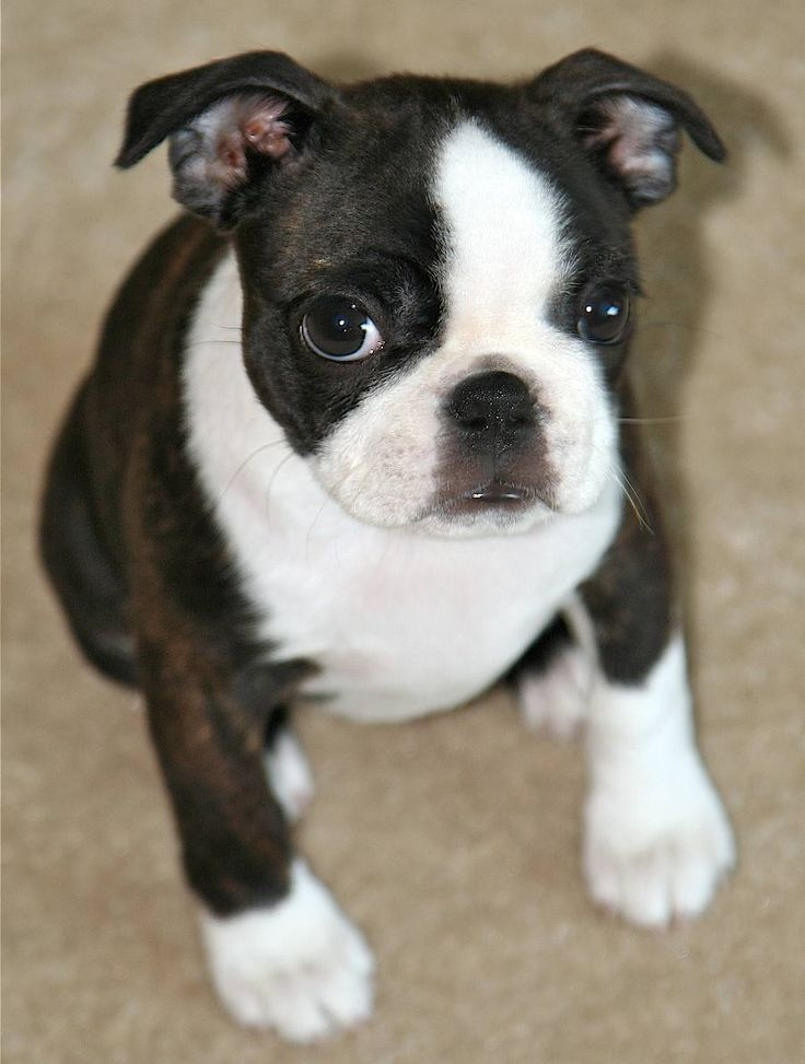 If I had a Boston puppy, I would name him Sir.  So cute!