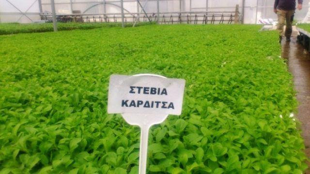 Καρδίτσα: Το πρώτο εργοστάσιο στέβιας στην Ευρώπη