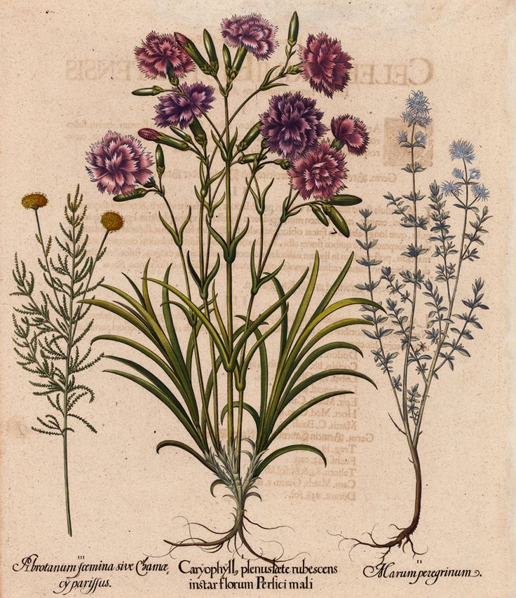 Besler, Basilius Caryophyll plenus laete rubescens instar florum Persici mali. I. Wild carnation II. Mastic thyme; Spanish wood marjoram III. Lavender cotton Eichstaett & Nuernberg, 1713 Original copper engraving in fine hand coloring.