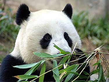 I love pandas! This link is to a very informative article on giant pandas. The whole website has tons of info on different kinds of bears!! :D