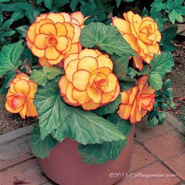 Picotee Sunburst Plant