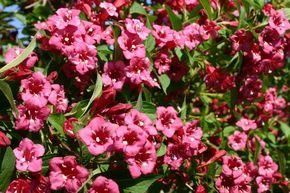 Weigelie 'Bristol Ruby' - Weigela 'Bristol Ruby'