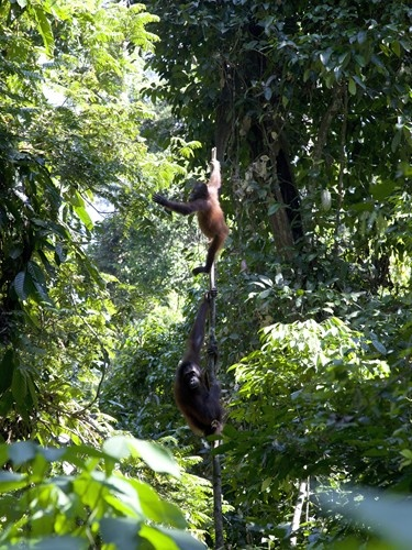 Rehabilitated Orang Utans' at Sepilok in East Sabah