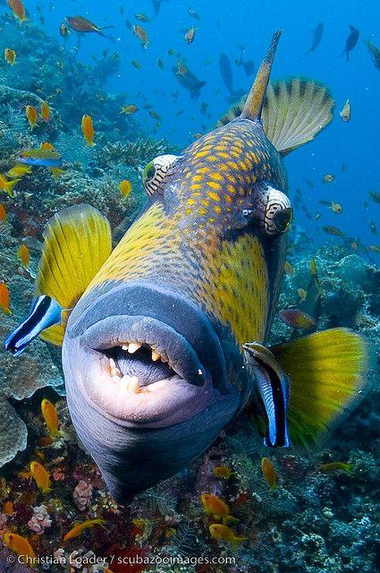 ✯ Kuda Giri - Maldives: A Kiss, Sea Life, Sea Creatures, Christian Loader, Underwater World,  Pufferfish, Ocean Life, Aquatic Life, Titanic Triggerfish