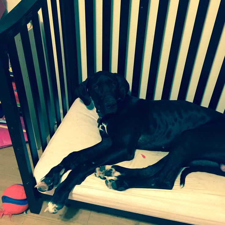 Use a convertible crib or toddler bed for a Great Dane dog bed.