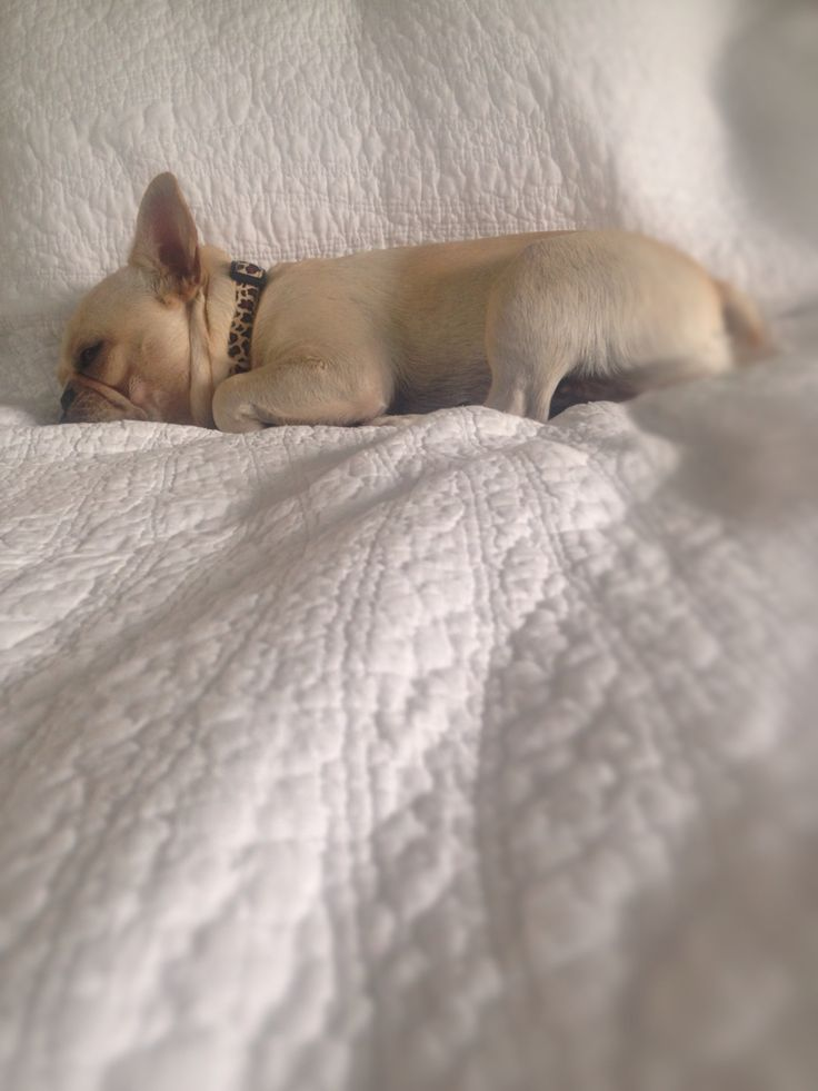 Sleeping beauty Sophie #french bulldog #frenchie