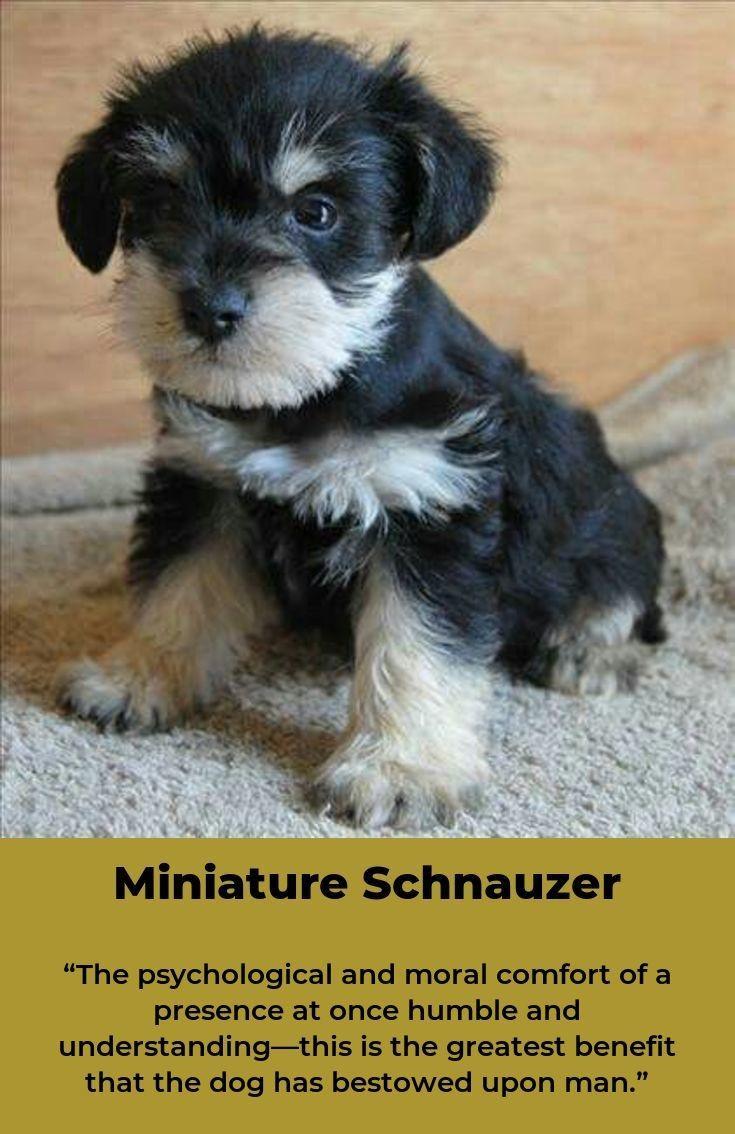 Miniature Schnauzer Miniatureschnauzersofinstagram Schnauzer Miniature Schnauzer Schnauzer Breed