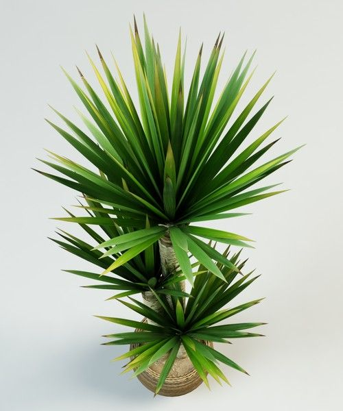 yucca plant | space 3 + space 4 | Pinterest | Yucca plant ...