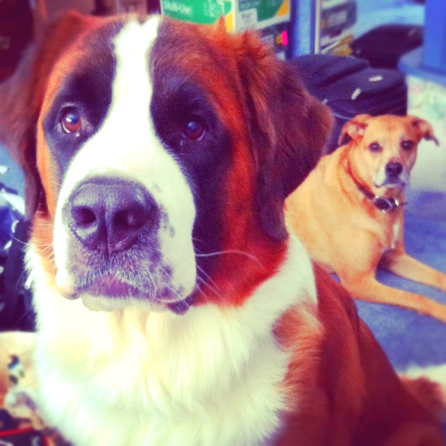 My Saint Bernard Sampson and his oldest sister Ginger