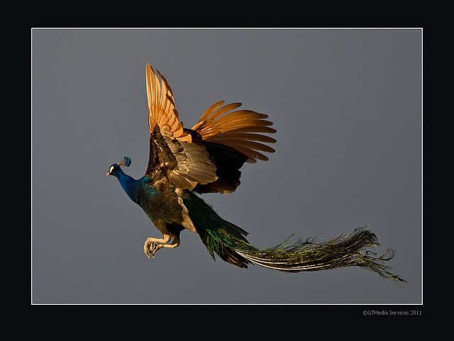 I've never seen a peacock in flight.  Amazing! Flying Peacock by GTMedia, via Flickr: Amazing, Photos, Flight, Peacocks, Animals, Beautiful, Flying Peacock, Birds