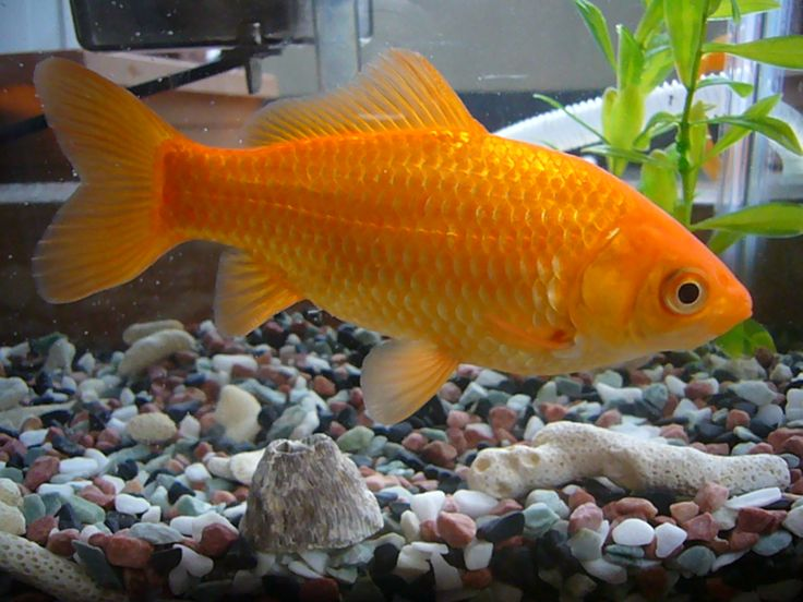 Goldfish goldfish koi pinterest goldfish and for Koi goldfish care