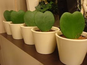 """Hoya kerrii   Je viens de rapporter, de chez un fournisseur, la """" plante de la Saint valentin """" ou plus scientifiquement l'Hoya kerr..."""