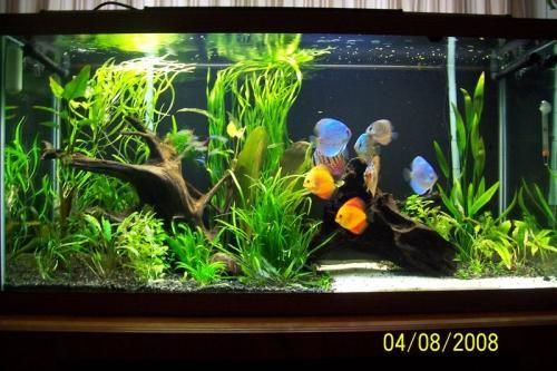 Hermoso acuario plantado con discos acuarios pinterest for Jardines con peceras