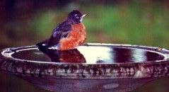 vogels-bad-badjes-afkoelen-tips-budgi-788