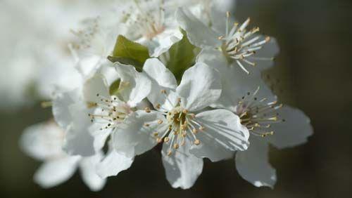 38 bach flower remedy desc