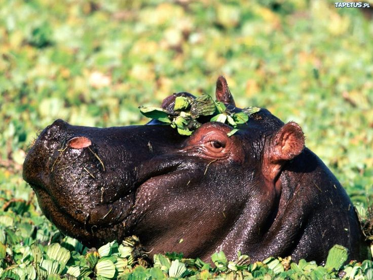 Hipopotam, Woda, Rośliny, Połysk