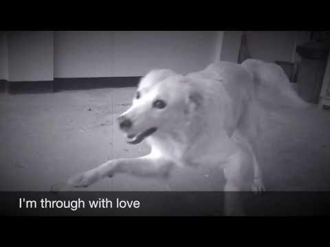 Labrador X Golden Retriever Puppies A Golden Retriever X Labrador