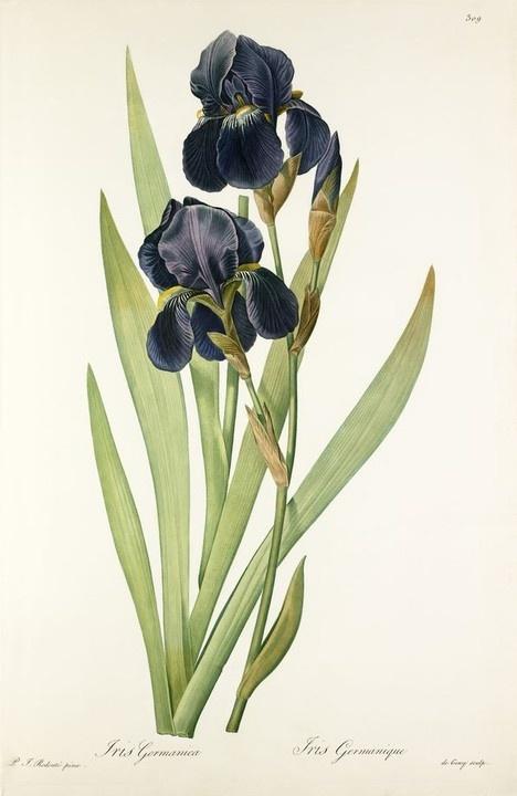 Iris germanica, Pierre-Joseph Redouté