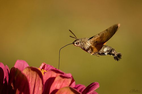 Macroglossum stellatarum  known as the Hummingbird Hawk-moth or sometimes the Hummingmoth, is a species of Sphingidae. Its long proboscis and its hovering behaviour, accompanied by an audible humming noise, make it look remarkably like a hummingbird while feeding on flowers. It should not be confused with the moths called hummingbird moths in North America, genus Hemaris, members of the same family and with similar appearance and behavior - from Wikipedia