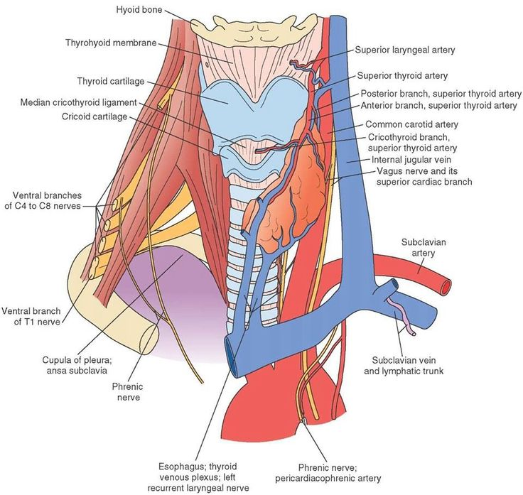 120 best images about Macroscopic anatomy on Pinterest   Muscle ...