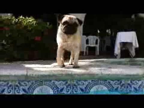 MEDINOSOS JULIETA DE LOS ESPIRITUS.   Multi Ch Caravelles Hallmark's Ticket x Freboland La Hija de la Luna (Multi Ch Nonesuch Maker's Mark x CAM GUA Freboland Luna Nueva.)   #Pug #pugs #Pugs #pug #AKC #Carlino #Doguillo #Perros #Dogs #Mascotas #Pets