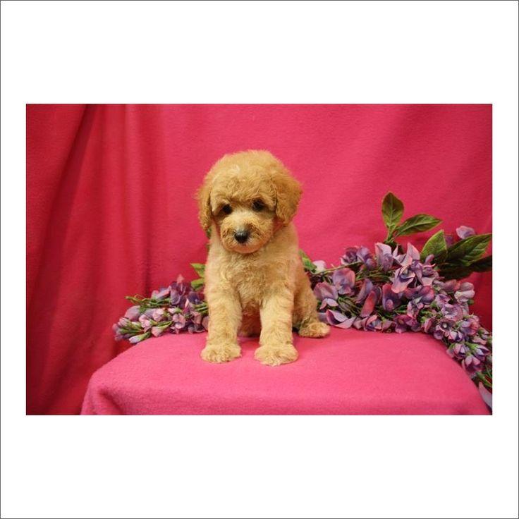 Cockapoo puppy for sale in TUCSON, AZ. ADN-39815 on PuppyFinder.com Gender: Female. Age: 11 Weeks Old